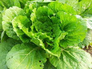 chinese-cabbage-320217_1280