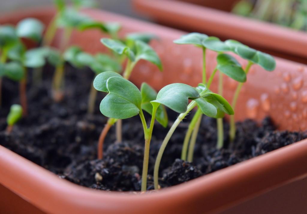 radish-sprouts-1407319_1280