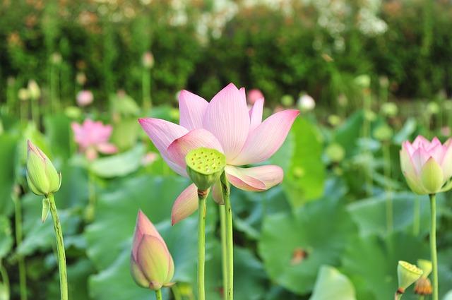 lotus-853679_640