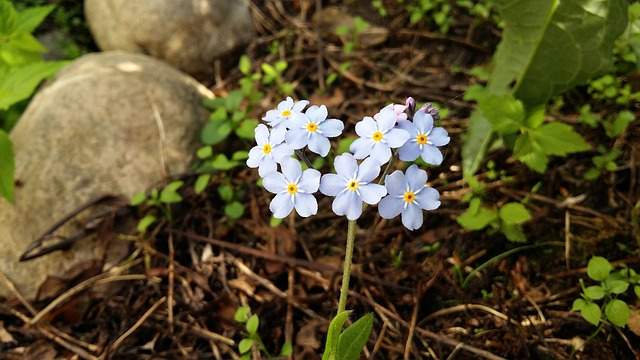 forget-me-not-1949942_640