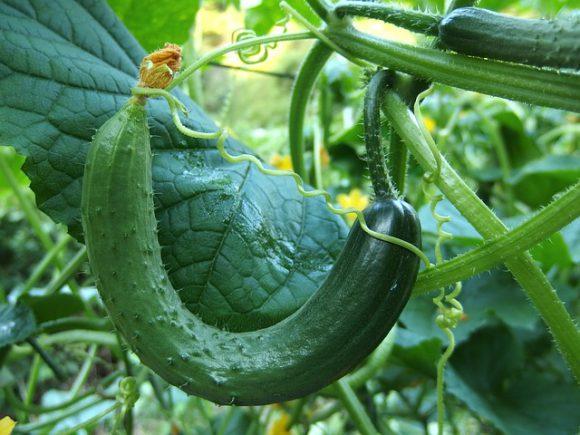 cucumber-1681504_640