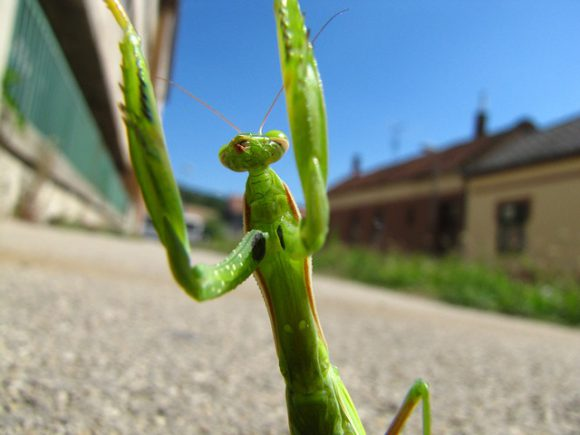 praying-mantis-180347_640